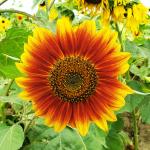 Sandborn New York Sunflower Brian Rayner