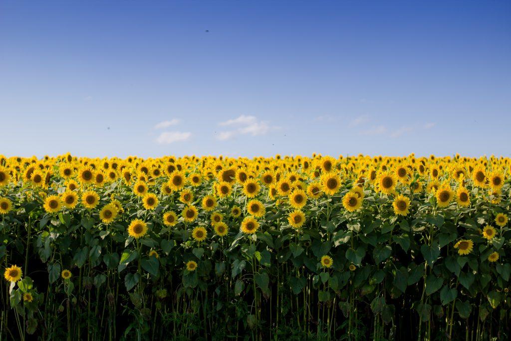 Web Design Service Sunflowers Buffalo NY